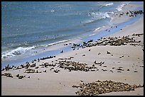 Pinnipeds hauled out on  beach, Point Bennet, San Miguel Island. Channel Islands National Park, California, USA.