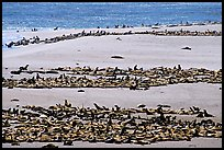 California sea lions and northern fur seals on  beach, Point Bennet, San Miguel Island. Channel Islands National Park, California, USA. (color)