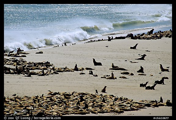Sea lions and seals hauled out on beach, Point Bennett, San Miguel Island. Channel Islands National Park (color)