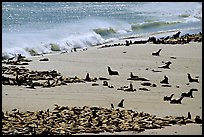 Sea lions and seals hauled out on beach, Point Bennett, San Miguel Island. Channel Islands National Park, California, USA. (color)