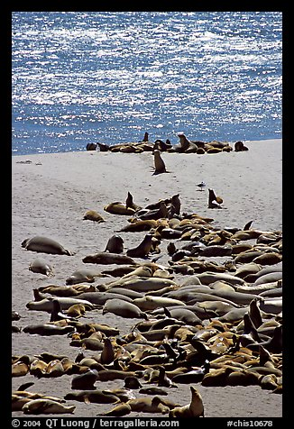 Northern fur Seal and California sea lion rookery, Point Bennet, San Miguel Island. Channel Islands National Park, California, USA.