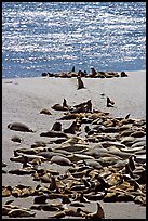 Northern fur Seal and California sea lion rookery, Point Bennet, San Miguel Island. Channel Islands National Park, California, USA. (color)