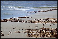 Beach with a large number of sea lions and seals, Point Bennett, San Miguel Island. Channel Islands National Park, California, USA. (color)