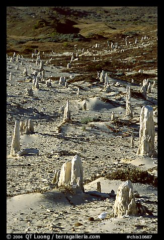 Ghost forest of caliche sand castings , San Miguel Island. Channel Islands National Park (color)