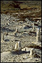 Ghost forest of caliche sand castings , San Miguel Island. Channel Islands National Park, California, USA. (color)