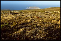 Grasses and Prince Island, San Miguel Island. Channel Islands National Park, California, USA. (color)