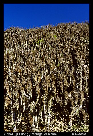 Hillside with giant coreopsis stumps, San Miguel Island. Channel Islands National Park (color)