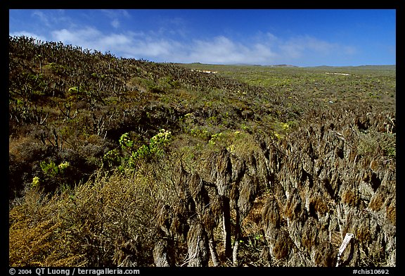 Giant Coreopsis stumps , San Miguel Island. Channel Islands National Park (color)