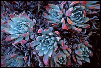 Live Forever (Dudleya) plants, San Miguel Island. Channel Islands National Park ( color)