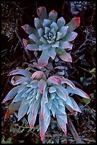 Live forever (Dudleya) plants, San Miguel Island. Channel Islands National Park, California, USA. (color)