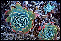 Stonecrop plants (Dudleya), San Miguel Island. Channel Islands National Park ( color)