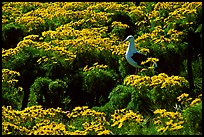 Western Seagull and Giant coreopsis in bloom, East Anacapa Island. Channel Islands National Park, California, USA. (color)