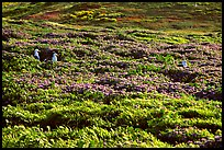 Seagulls and spring wildflowers, East Anacapa Island. Channel Islands National Park, California, USA.
