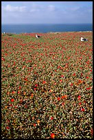 Iceplant flowers and seagulls, East Anacapa Island. Channel Islands National Park, California, USA.