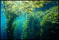 Kelp canopy beneath surface, Annacapa. Channel Islands National Park, California, USA. (color)