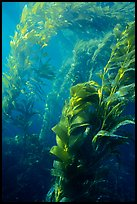 Underwater view of kelp canopy. Channel Islands National Park, California, USA. (color)
