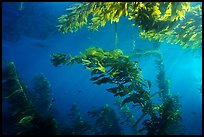 Kelp plants under ocean surface, Annacapa Marine reserve. Channel Islands National Park, California, USA. (color)