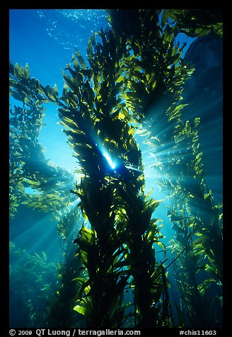 Kelp bed with sunrays,  Annacapa Marine reserve. Channel Islands National Park, California, USA.
