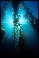 Giant Kelp and sunbeams underwater, Annacapa Marine reserve. Channel Islands National Park, California, USA.