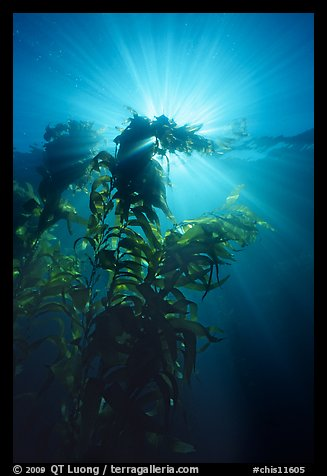 Underwater view of kelp plants with sun rays, Annacapa. Channel Islands National Park (color)