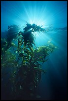 Underwater view of kelp plants with sun rays, Annacapa. Channel Islands National Park, California, USA.