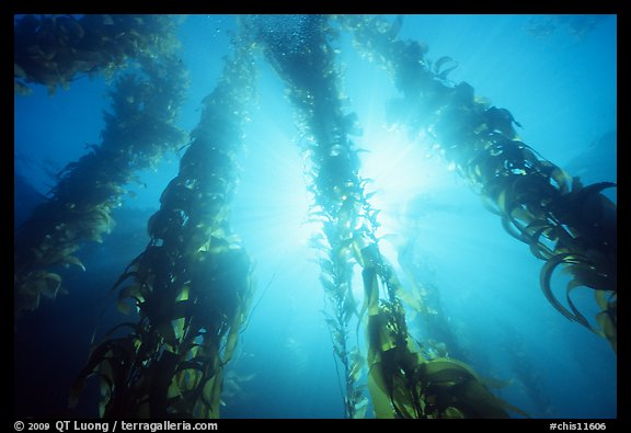 Underwater kelp bed, Annacapa Island State Marine reserve. Channel Islands National Park (color)