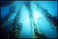 Underwater kelp bed, Annacapa Island State Marine reserve. Channel Islands National Park, California, USA.