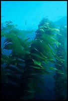 Macrocystis pyrifera (Giant Kelp), Annacapa  Marine reserve. Channel Islands National Park, California, USA. (color)