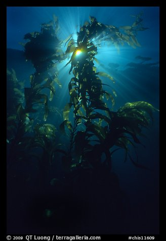 Underwater view of kelp fronds with sun beams. Channel Islands National Park (color)
