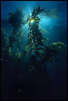 Underwater view of kelp fronds with sun beams. Channel Islands National Park, California, USA.