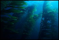 Kelp forest, Channel Islands National Marine Sanctuary. Channel Islands National Park, California, USA.