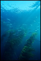 Fish and kelp, Channel Islands National Marine Sanctuary. Channel Islands National Park, California, USA. (color)