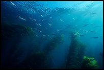 Jack mackerel school of fish in kelp forest. Channel Islands National Park, California, USA.