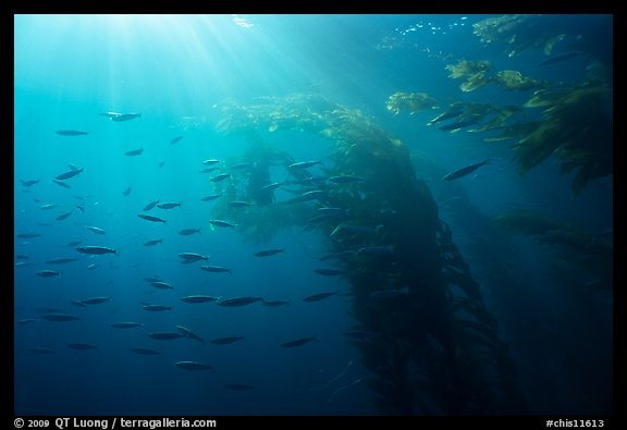 Giant kelp forest, fish, and sunrays underwater. Channel Islands National Park (color)