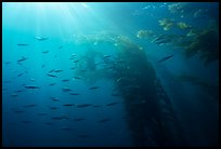 Giant kelp forest, fish, and sunrays underwater. Channel Islands National Park, California, USA.
