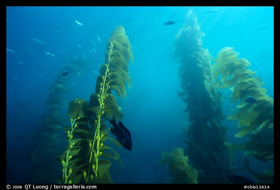 Kelp plants with pneumatocysts (air bladders). Channel Islands National Park (color)
