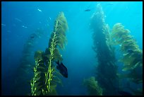 Kelp plants with pneumatocysts (air bladders). Channel Islands National Park, California, USA.