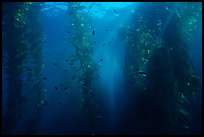 Giant Kelp underwater forest. Channel Islands National Park, California, USA.
