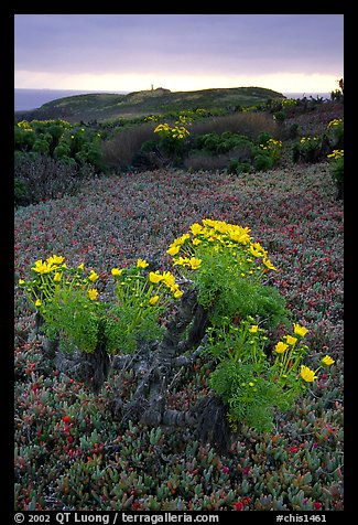 Giant Coreopsis and ice plant. Channel Islands National Park (color)