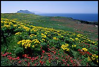 Giant Coreopsis, wildflowers, and Anacapa islands. Channel Islands National Park, California, USA.