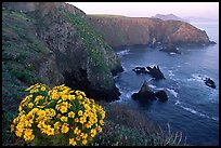 Coreopsis and Cathedral Cove, Anacapa. Channel Islands National Park, California, USA.