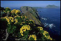 Coreopsis and island chain from Inspiration Point, morning, Anacapa. Channel Islands National Park, California, USA.