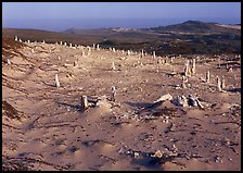 Caliche stumps, early morning, San Miguel Island. Channel Islands National Park, California, USA. (color)