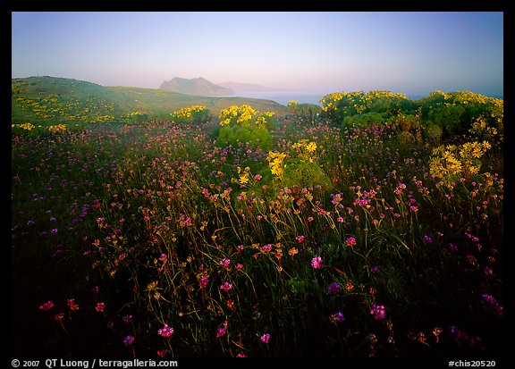 Spring wildflowers and mist, early morning, Anacapa Island. Channel Islands National Park (color)