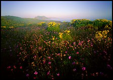 Spring wildflowers and mist, early morning, Anacapa Island. Channel Islands National Park, California, USA.