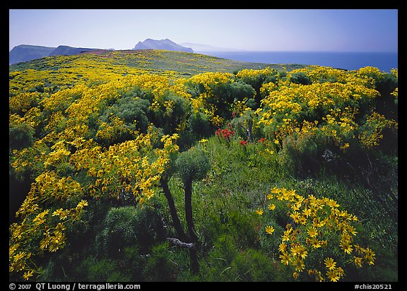 Coreopsis in bloom and Paintbrush in  spring, Anacapa Island. Channel Islands National Park, California, USA.