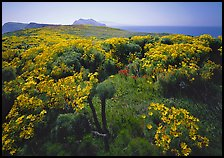Coreopsis in bloom and Paintbrush in  spring, Anacapa Island. Channel Islands National Park, California, USA. (color)