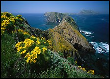 Coreopsis and chain of islands, Inspiration Point, Anacapa Island. Channel Islands National Park ( color)