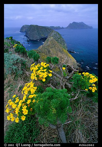 Coreopsis in bloom near Inspiration Point, morning, Anacapa. Channel Islands National Park, California, USA.