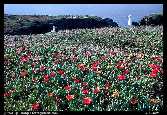 Western seagus and ice plants. Channel Islands National Park, California, USA.